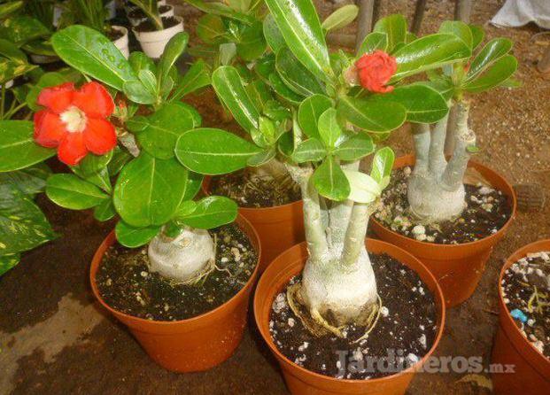 Vivero rosa del desierto for Plantas precios viveros