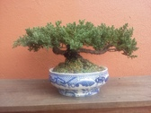 Bonsai Cuernavaca
